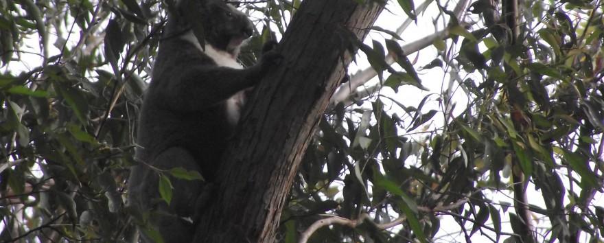 Our First Koala