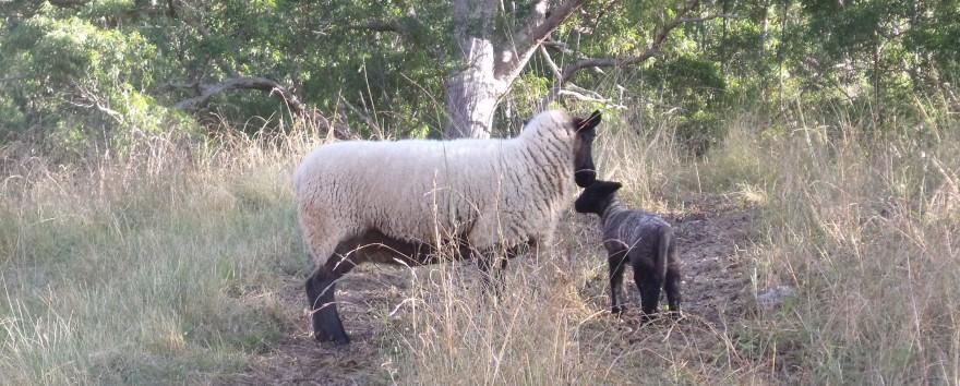 New lamb 2013