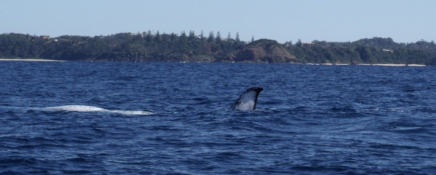 Humpback Whale at Port Macquarie
